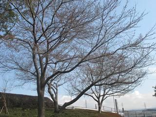 20160325 桜開花 003.jpg